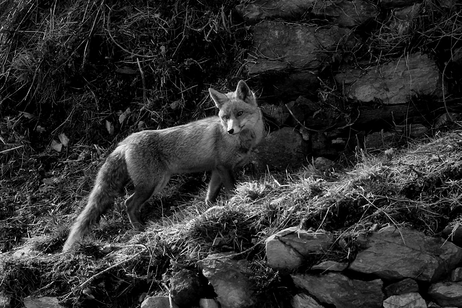 la guilla / the fox