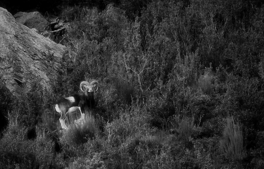 Ovis musimon (el mufló) / Mouflon