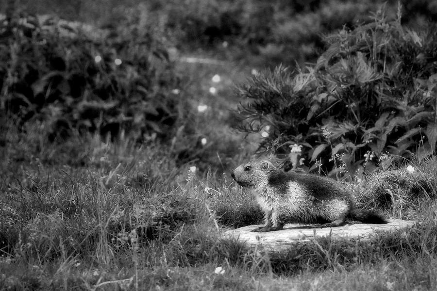 The marmot / La marmota