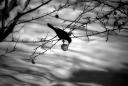 blackbird and apple / merla i poma
