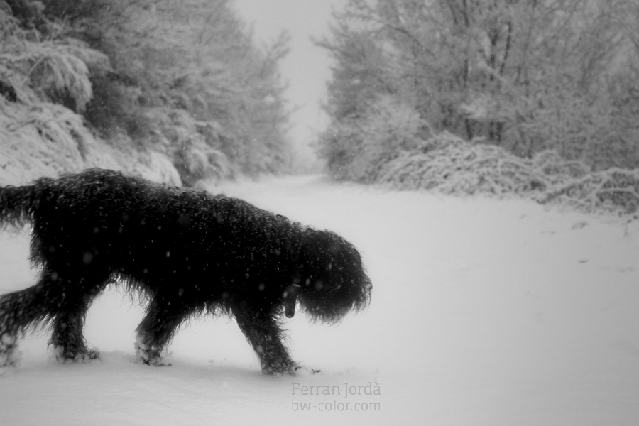 the dog on the snow / el gos a la neu
