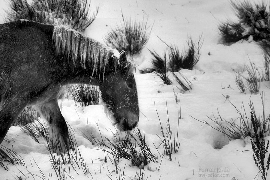 Una euga a l'hivern