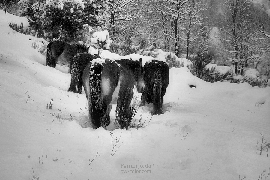 mares and winter /eugues i l'hivern