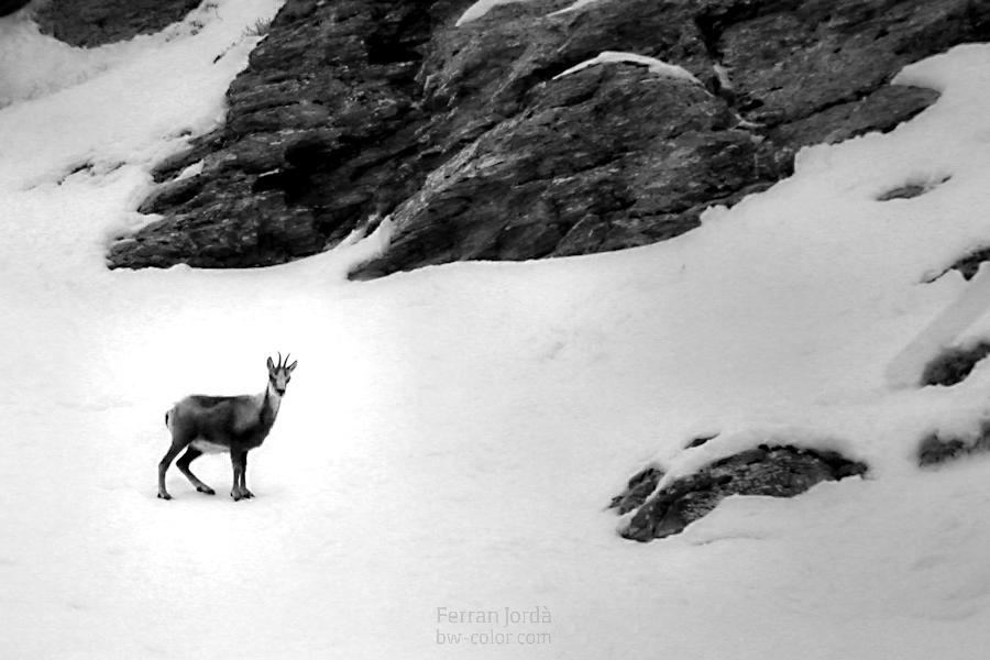 L'isard, tot sol a l'hivern
