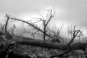 the burned forest / el bosc cremat